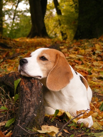 Beagle lying on the ground and resting its head on the tree root in autumn