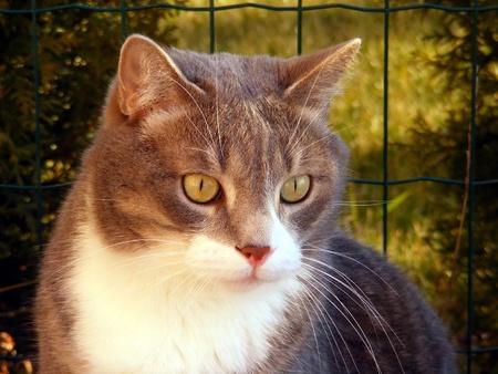 gato gris: Cerca de gato gris con cuello blanco