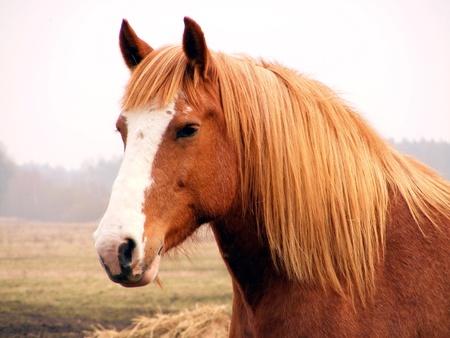light brown horse: Close up of palomino draft horse