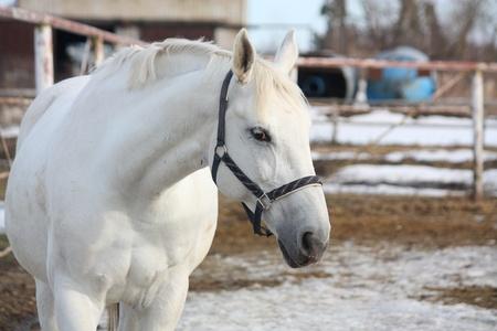 White horse portrait with dark blue headcollar