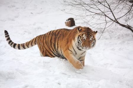 Beautifull tiger walking in snow Stock Photo