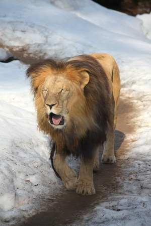 Yawning lion pacing in snow photo
