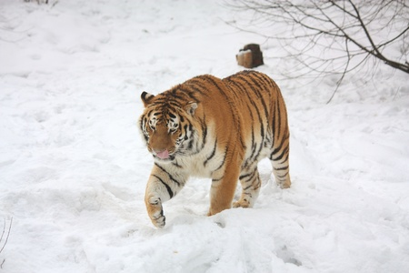 Tiger walking in snow and licking his nose Stock Photo - 9281925