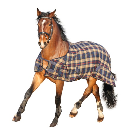 Trotting brown horse in clothe isolated on white