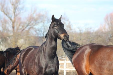horse tail: Caballo negro masticaci�n en cola de caballo marr�n