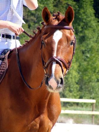 Chestnut horse portrait photo