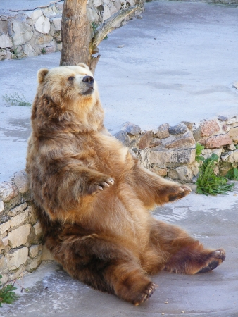 grizzle: Bear sitting on stone