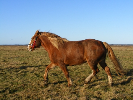 Brown draft horse trotting at the field