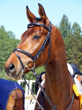bridle: Bay horse with bridle portrait
