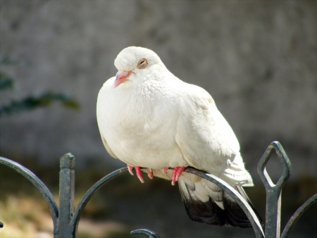 White dove resting on the metal fence photo