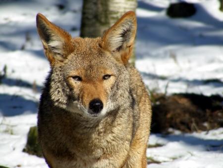 Coyote portrait in winter