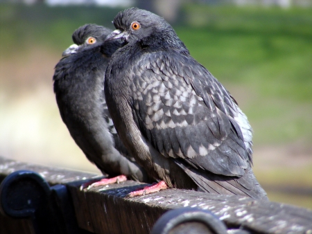 Two gray pigeons sitting on the bench photo