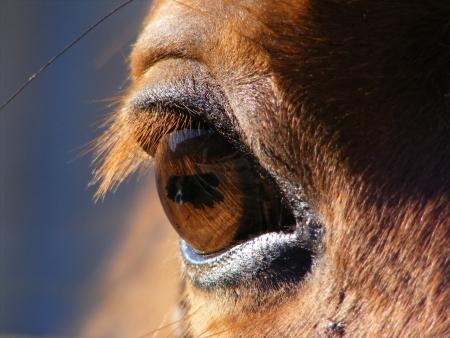 Brown horse eye photo