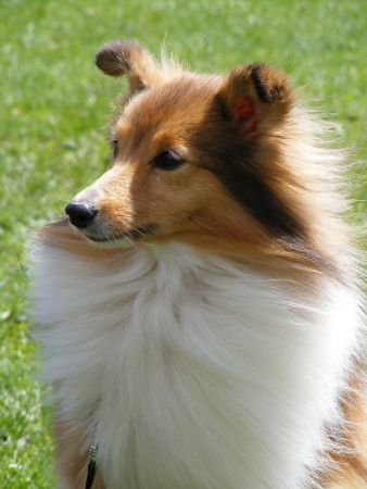 miniature collie: Sheltie portrait Stock Photo