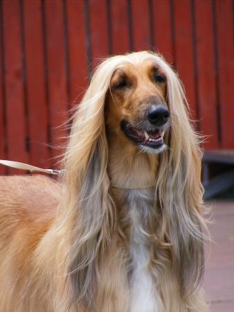 Afghan hound portrait Stock Photo