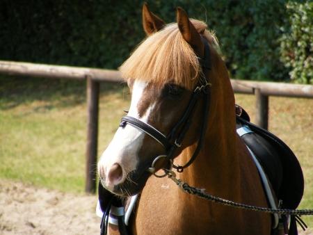 Cute brown pony photo
