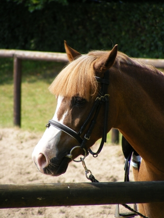 horse collar: Cute brown pony Stock Photo
