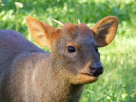 Southern pudu portrait photo