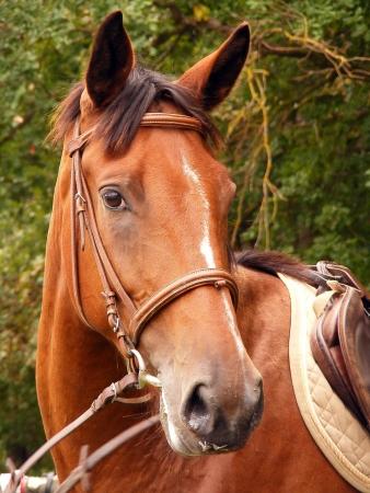 Bay horse with bridle portrait photo