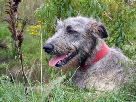 Irish wolfhound resting in the field Stock Photo
