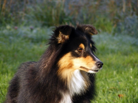 miniature collie: Black sheltie portrait Stock Photo