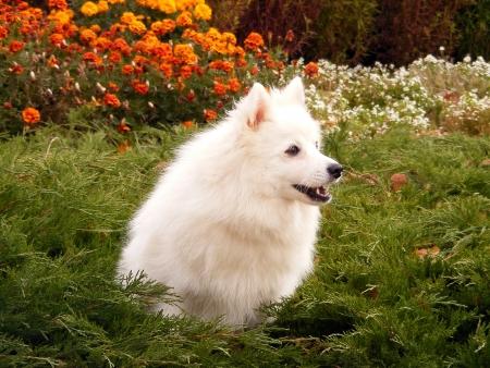 yelp: White small spitz barking
