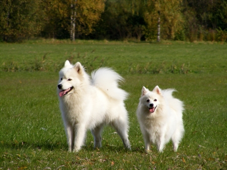 Samoyed and japanese spitz at the field