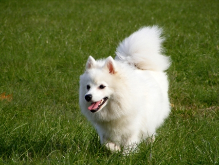 Japanese spitz running at the field