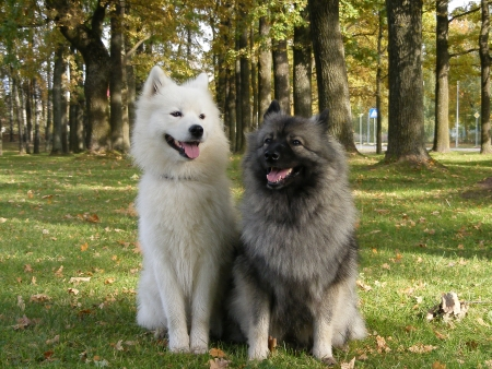 White samoyed and gray keeshond together