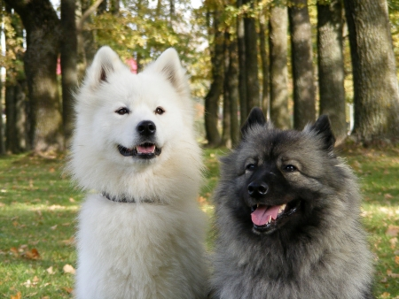 chien: White samoyed and gray keeshond together