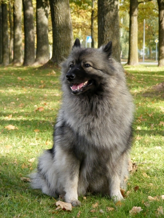 Happy keeshond sitting in the park in autumn
