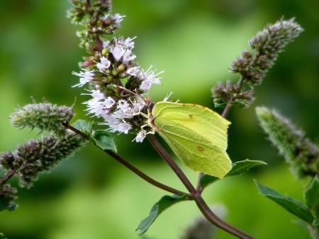 mariposa verde: Mariposa, la flor de menta verde sobre la Foto de archivo