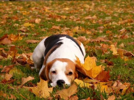 Beagle lying in the maple leaves in the park in autumn photo