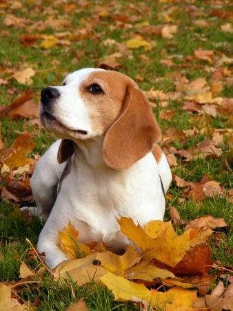 tricolour: Tricolour beagle lying on the ground in autumn