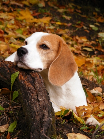 Beagle resting on the ground in autumn park photo