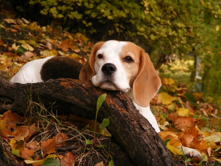 Beagle resting on the ground in autumn park