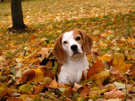 Tricolour beagle lying on the ground in autumn