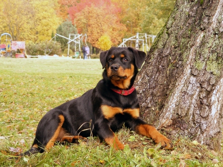 Rottweiler lying near the tree in park