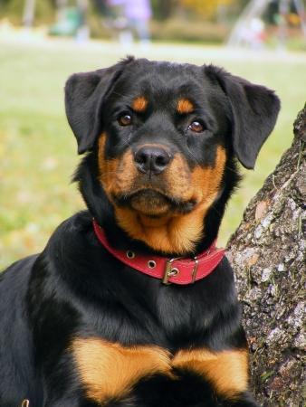 Rottweiler 5 month old pup portrait