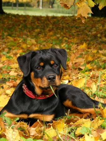 Rottweiler lying on the ground in autumn Stock Photo