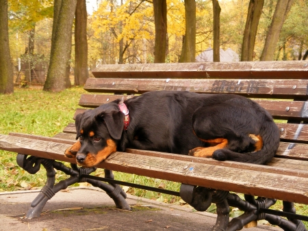 Rottweiler pup resting on the bench photo