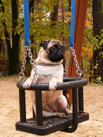 Pug sitting in the swing
