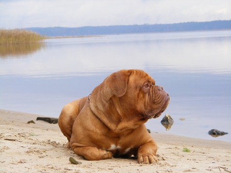 Sad chestnut french mastiff resting on the lake coast photo