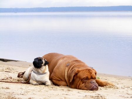 bordeauxdog: Cute photo of pug and french mastiff on the lake coast Stock Photo