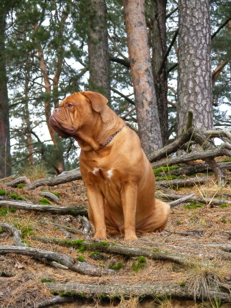french mastiff: French mastiff in the forest Stock Photo