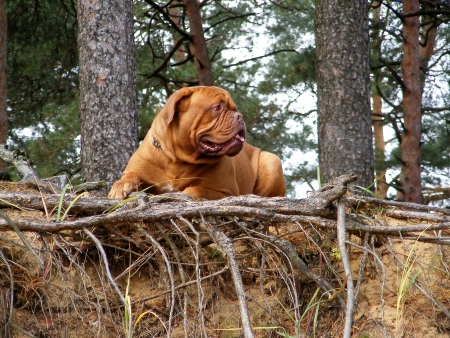 French mastiff resting in the forest Stock Photo - 14530381