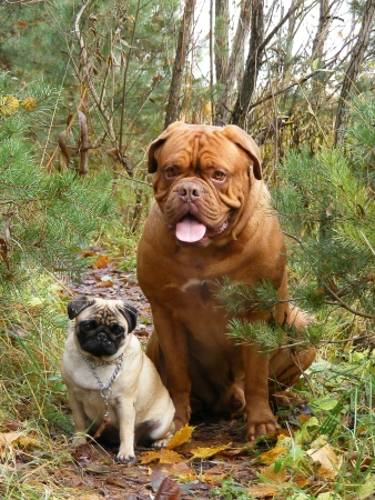 Friendly french mastiff and small white pug in the forest photo