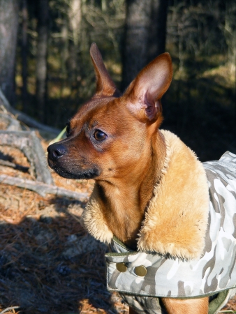 moscovian: Brown smooth coated russian toy terrier dressed in coat