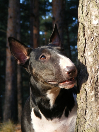 Black and white English bull terrier portrait in the forest photo
