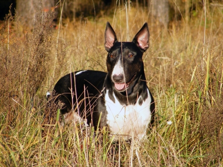 Black and white bull terrier at the field photo